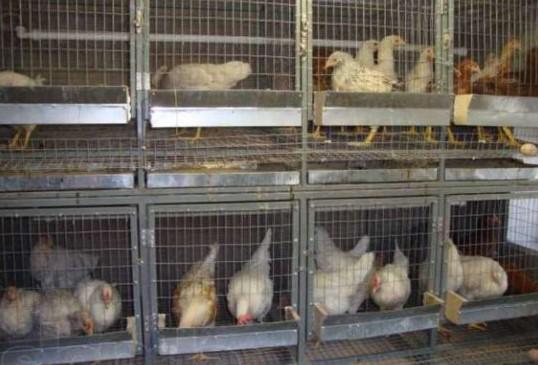 Выращивание кур несушек в клетках