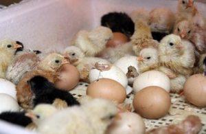Вылупившиеся в инкубаторе птенцы