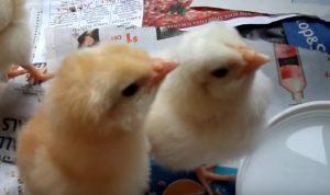 Вылупленные цыплята