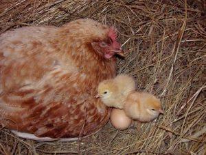 курочка наседка с яйцами