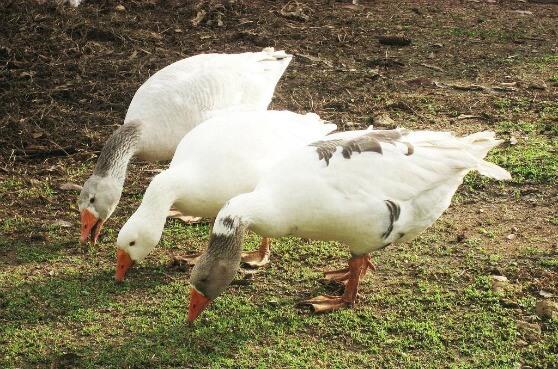 Чем кормить гусей в парке