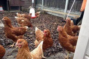 Подросшие цыплята Ломан Браун на выгуле