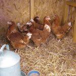 Подросшие цыплята Ломан Браун в курятнике