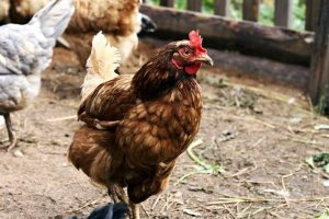 Взрослая курица Ломан Браун на выгуле