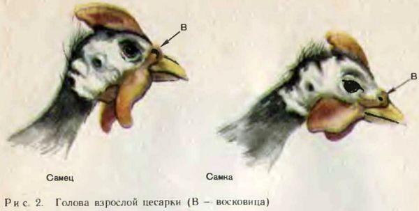 Цесарки: самец и самка