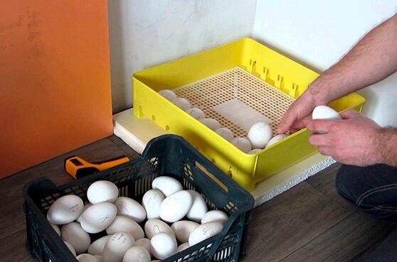 Закладка гусиных яиц в инкубатор