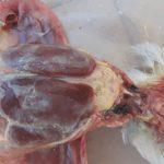 Признаки колисептицемии у кур