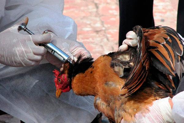 Профилактика инфекционных заболеваний у кур