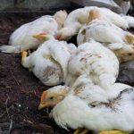 Цыплята больные птичьим гриппом