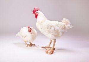 РОСС-708: петух и курица