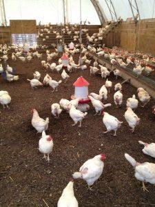 РОСС-708: содержание кур в птичнике