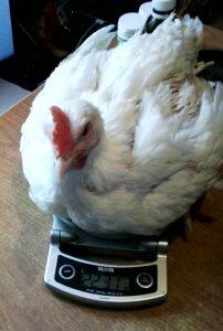 РОСС-708: взвешивание курицы
