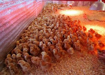 выращивание цыплят