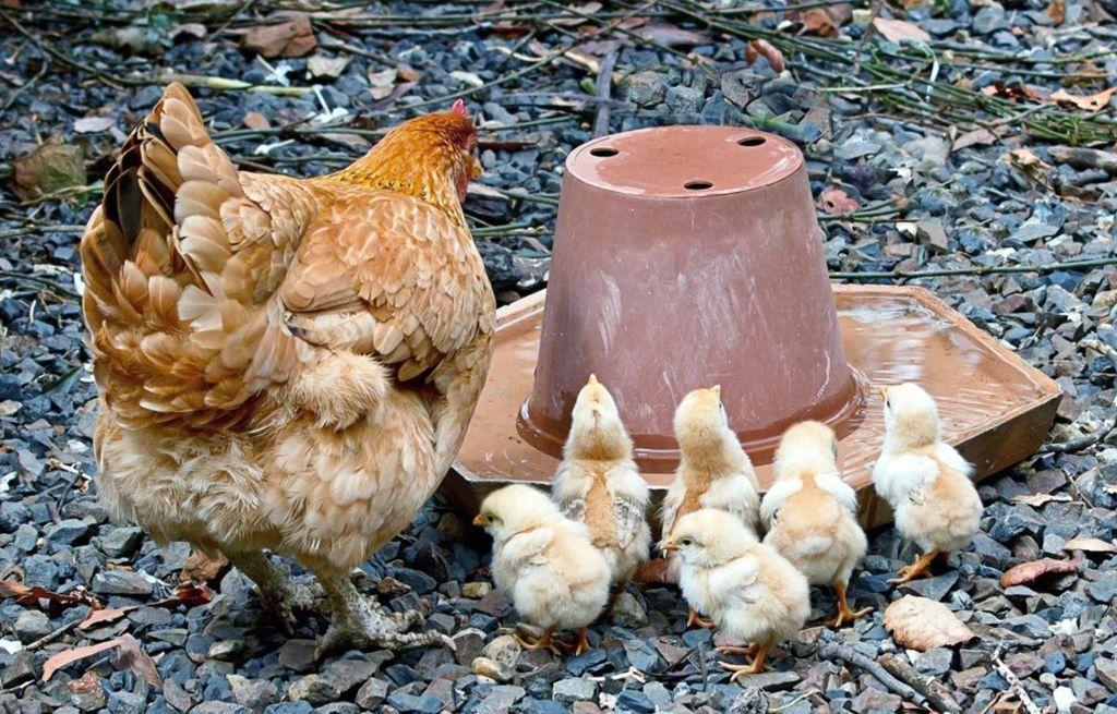 Курица и цыплята около поилки