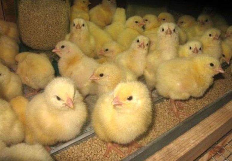 Экстренная помощь цыплятам