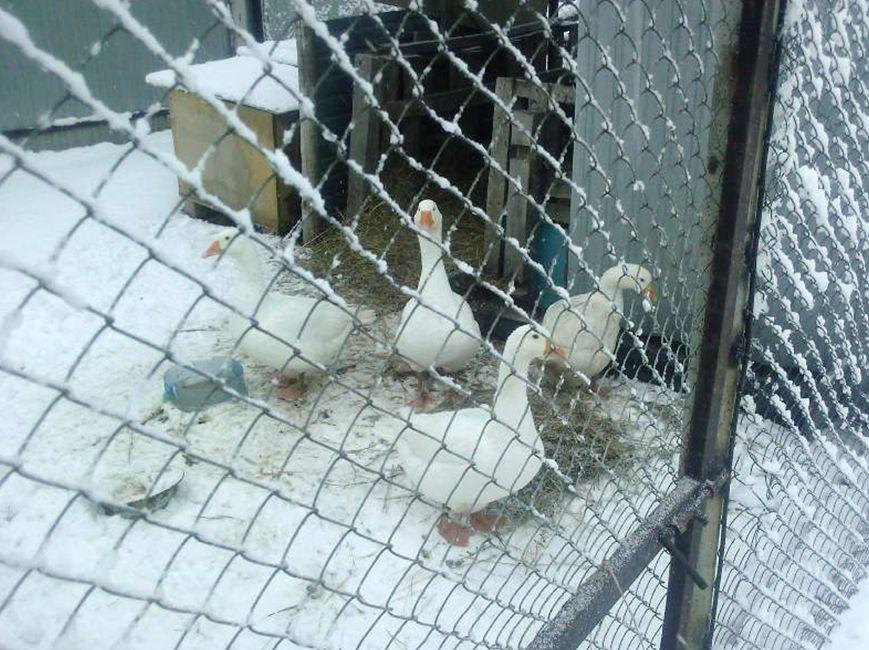 Чем можно кормить гусей зимой